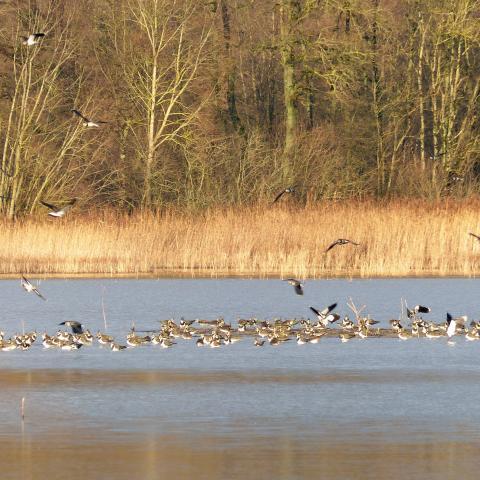 Vanneau hupé - RNR des étangs de Belval-en-Argonne